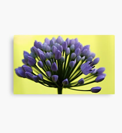 Lavender Allium - First Flower Canvas Print