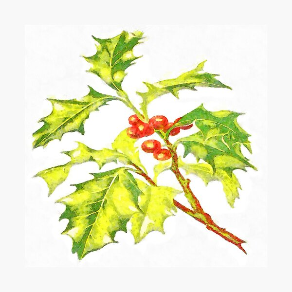 Watercolor Botanical Illustration Of Christmas Holly Photographic Print