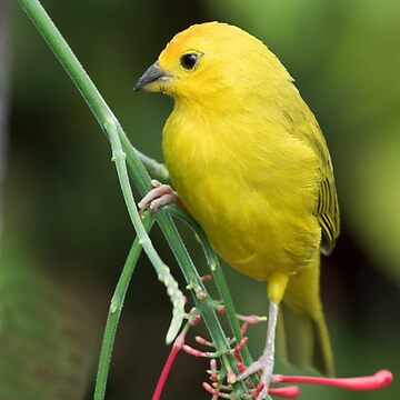 Saffron Finch by WorldDesign