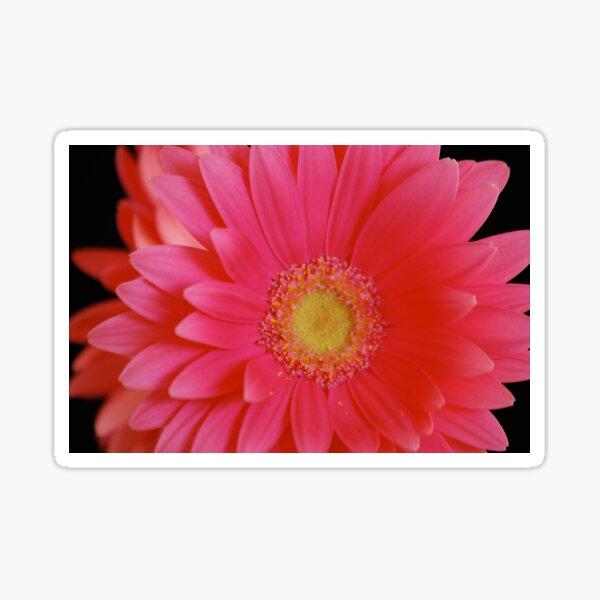Pink Gerbera Daisy Sticker