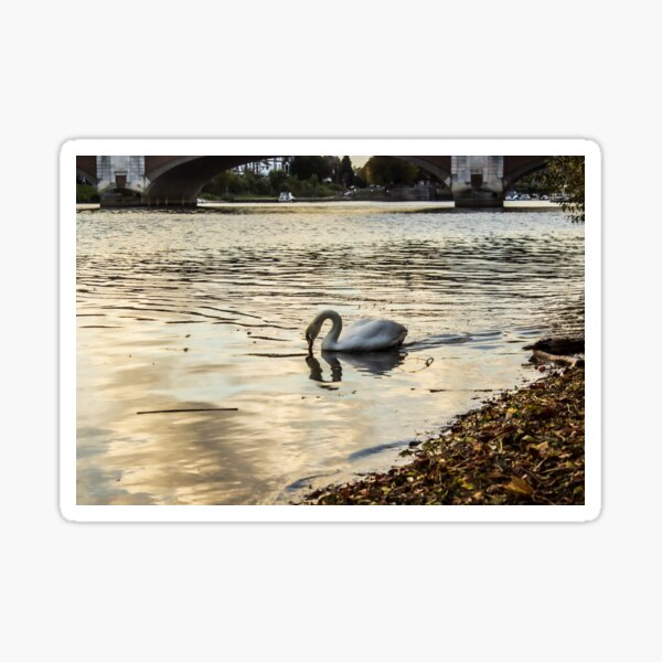Peaceful Swan on the River Thames Sticker