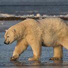 STOCK ~ Polar Bear #5 - Strolling On Ice by akaurora