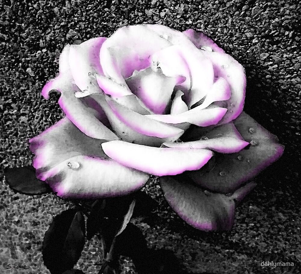 Blushing White Rose by Shawna Rowe