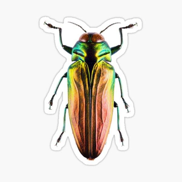 Tricolor Metallic Jewel Beetle (Belionota sumptuosa) Sticker