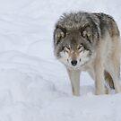 Gray Wolf by (Tallow) Dave  Van de Laar