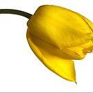 Tulipa 'Yellow Purissima' by John Edwards
