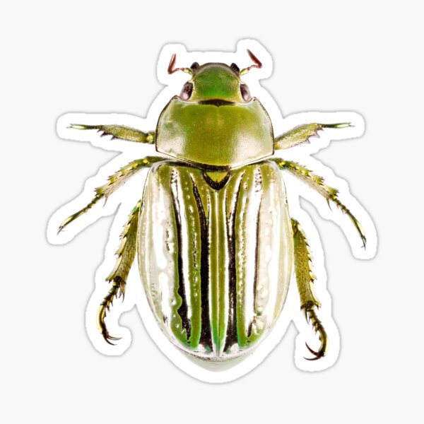 Glorious Beetle (Chrysina gloriosa) Sticker