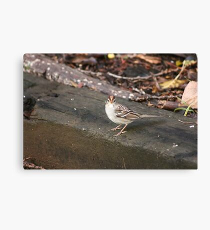 Rufous Crowned Sparrow Canvas Print