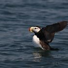 STOCK ~ Horned Puffin Just Wingin' It by akaurora