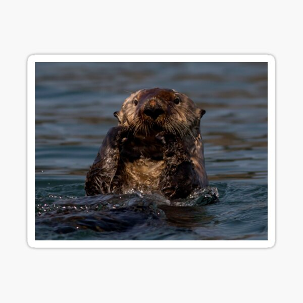 STOCK ~ Sea Otter What's Up Sticker