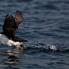 STOCK ~ Horned Puffin On The Move by akaurora