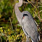 STOCK ~ Great Blue Heron #3 by akaurora