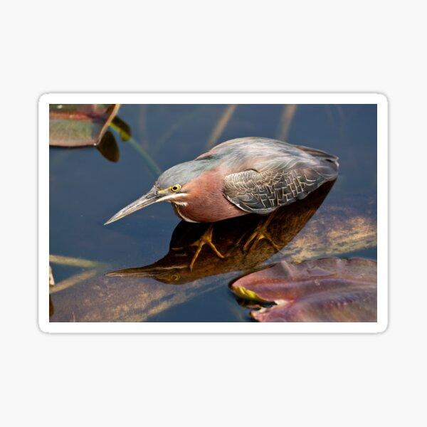STOCK ~ Green Heron #2 Sticker