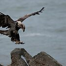 STOCK ~ Focused On The Landing (Immature Bald Eagle) by akaurora