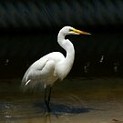 Egret, Great White by akaurora