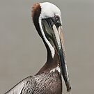 Brown Pelican #2 by akaurora