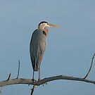 Heron, Great Blue  by akaurora