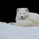 Arctic Fox by (Tallow) Dave  Van de Laar