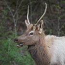 Elk by akaurora