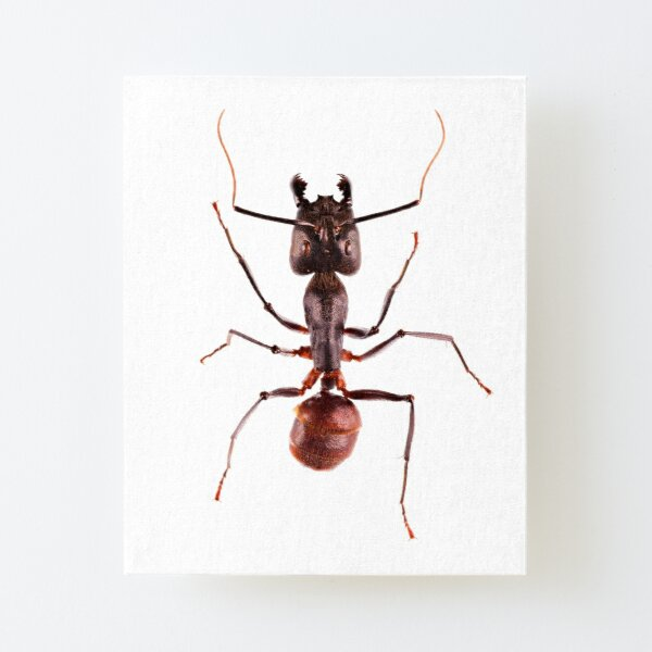 Giant Forest Ant (Camponotus gigas) Canvas Mounted Print