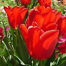 Red Tulips by Elaine Bawden