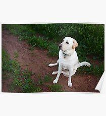 Labrador Dog Poster