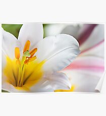 White lily Poster