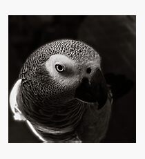african grey  Photographic Print