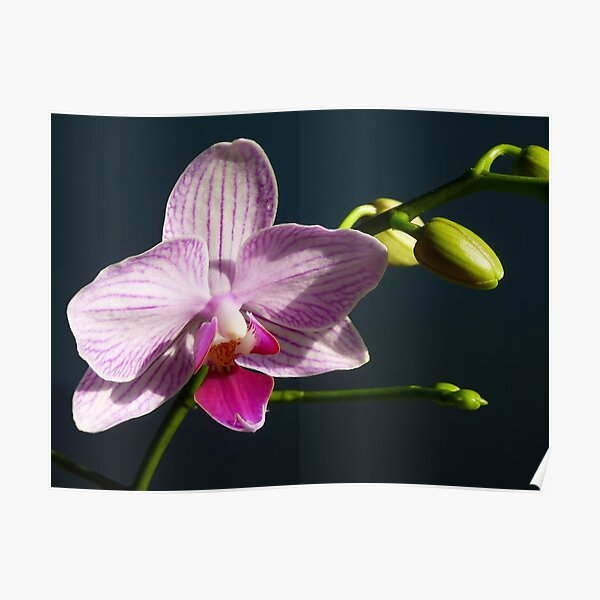 Lone Orchid Poster