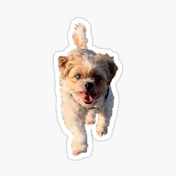 Shih Tzu Bichon Sticker
