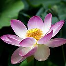 Lotus by Gavin Kerslake