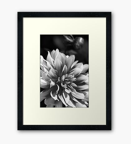 Tones Of Dahlia Framed Print