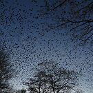 Birds  Sturnidae by ienemien