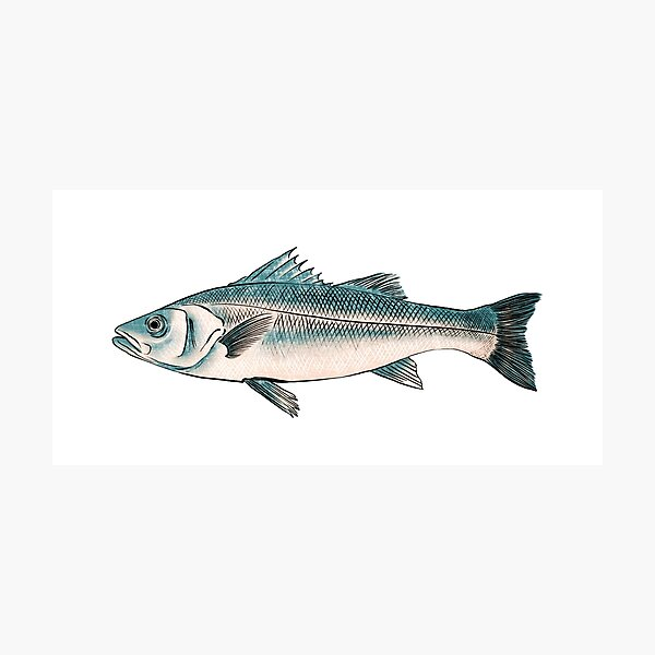 Illustration of Striped bass Photographic Print
