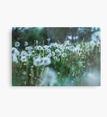 dusky dandelions Metal Print
