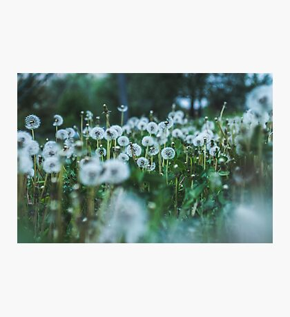 dusky dandelions Photographic Print