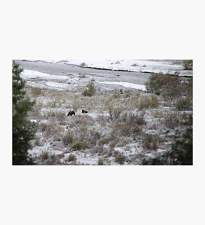 Grizzly Bears Photographic Print