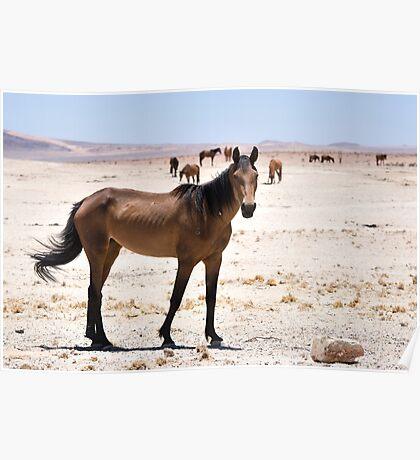 Wild Horses of Namibia Poster