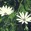 African Daisies by Catherine Liversidge