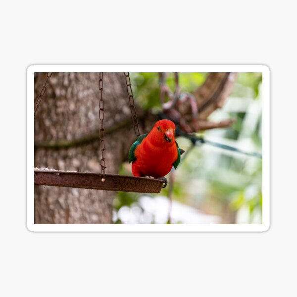 Red and Green King Parrot on a bird feeder swinging from a tree Sticker