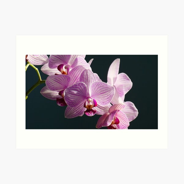 Pink and White Orchids in sunlight Art Print