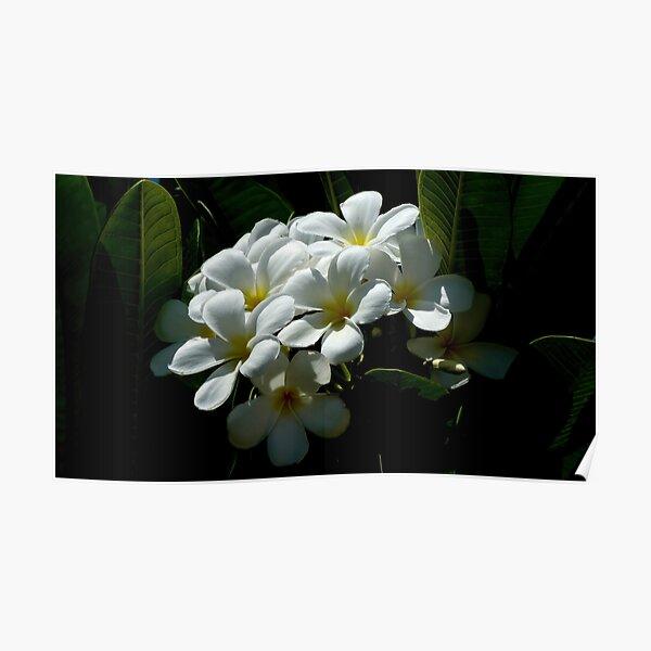 White Plumerias in soft sunlight Poster