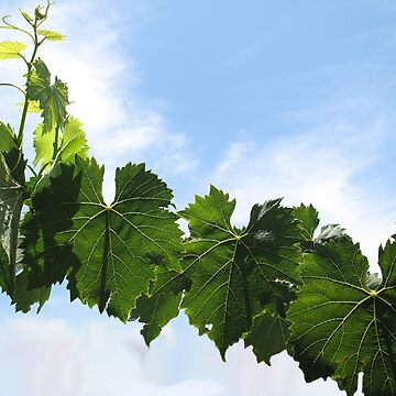 Grape Leaves by NicoRosso