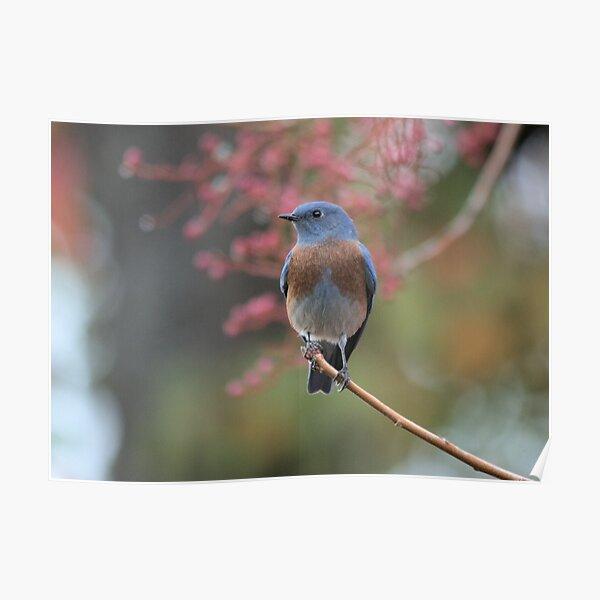 Western Bluebird  Poster