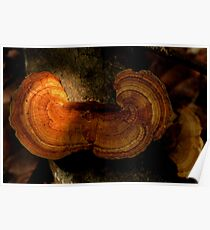 Fungi along the Gondwana Rainforest walk Poster