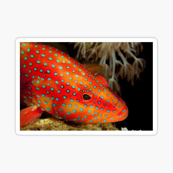 Coral grouper Sticker