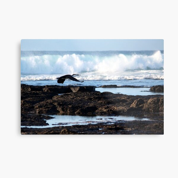 Little Pied Cormorant - Skennars Head NSW (near Ballina) Metal Print