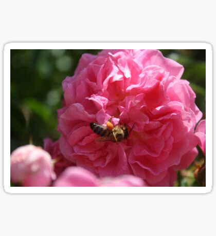 Honey Bee Collecting Pollen On A Pink Rose Sticker