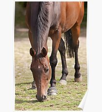 Thoroghbred Horse Grazing Poster