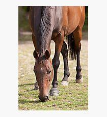 Thoroghbred Horse Grazing Photographic Print